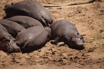 Hippos at Masai Mara basking in sun