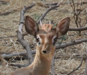 dik dik close up